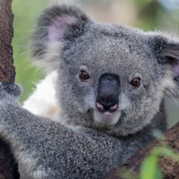 Watch two koalas show some UFC-appropriate fighting skills in the middle of an Australian road
