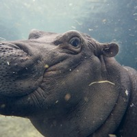 Fiona the hippo is celebrating her first Christmas the right way