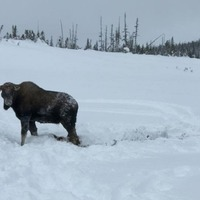 This moose was saved from deep snow by passing snowmobilers