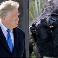 The bizarre story of Donald Trump, a gorilla TV channel and a parody tweet gone wrong