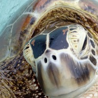 Rising temperatures in the Great Barrier Reef turning green sea turtles female, study warns