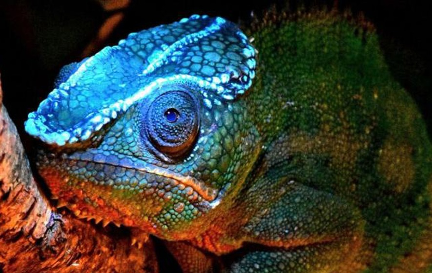Chameleons Glow under Ultraviolet Light