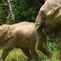 How did elephants get to Borneo? Scientists compare theories