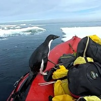 Watch this cheeky penguin hop aboard a research boat in Antarctica