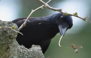 Tool-making crows get hooked on fast food