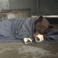 These bears burnt during California wildfires were healed using fish skin