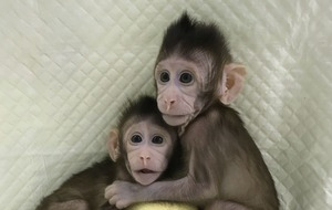 Monkey clones said to be a 'stepping stone' to copied humans