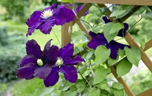 Gardening: Want eye-popping Clematis blooms? Follow this step-by-step guide