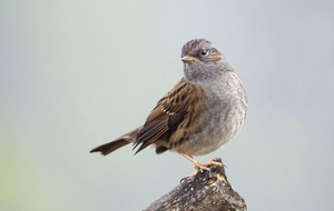 Take on Nature: Humble dunnock seeking out territory as spring edges closer