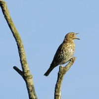 Take On Nature: Thrushes show a melodious contempt when humans shout at them to keep it down