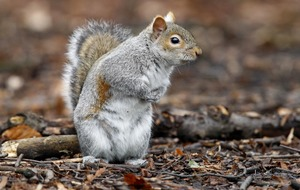 Grey squirrels beat reds in battle of the wits, study finds