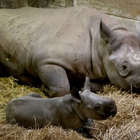 An adorable black rhino has been born at a Kent animal reserve