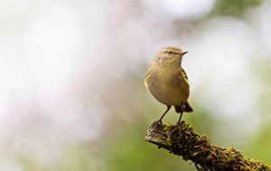 Take on Nature: Chiff-chaff brings to mind spring's changing patterns