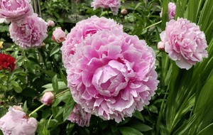 Gardening: A quick guide to growing your own peonies