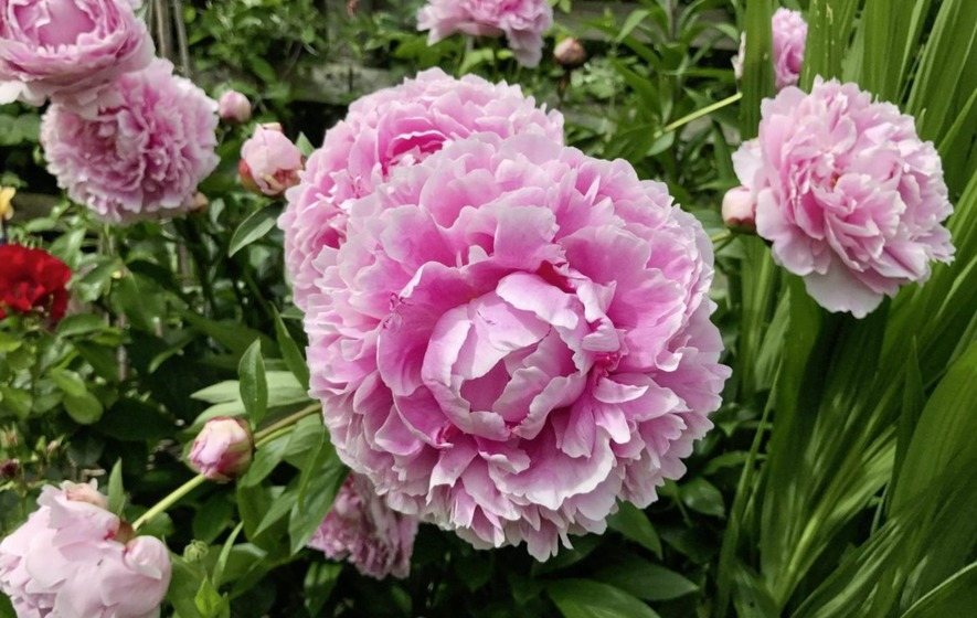 Gardening A Quick Guide To Growing Your Own Peonies The Irish News