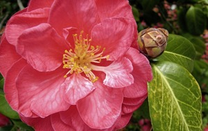 The Casual Gardener: Is the camellia your cup of tea?