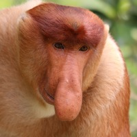 Size does matter to monkeys with big noses, say scientists
