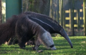 In Video: Rare giant anteater arrives at Chester Zoo