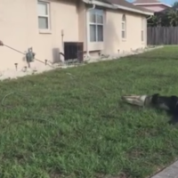 Watch this police officer pull a huge alligator from underneath a car in Florida