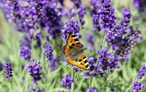 Butterfly Conservation offers tips on how to make your garden better for butterflies