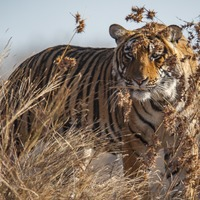 Tigers could vanish from a third of protected areas, experts warn