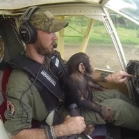 Watch this adorable baby chimpanzee get flown to safety on a pilot's lap