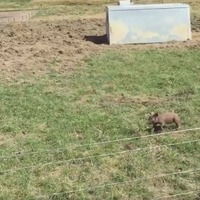 This adorable video of a piglet chasing a tractor will make your day