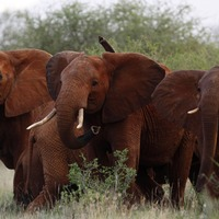 Trump administration lifts ban on elephant trophy imports
