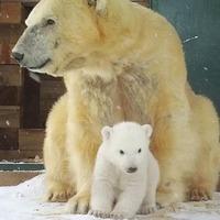 Polar bear cub caught on camera as it finally ventures outside