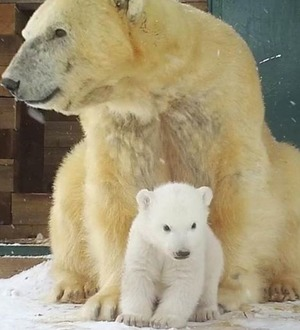 Polar bear cub caught on camera as it finally ventures outside