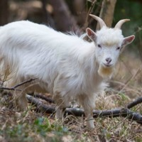 Regiment finally gets its goat after mascot gives soldiers 'bit of a runaround'