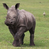 Young rhinos use context-specific calls to communicate, study shows