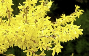 Forsythia saga springs surprises