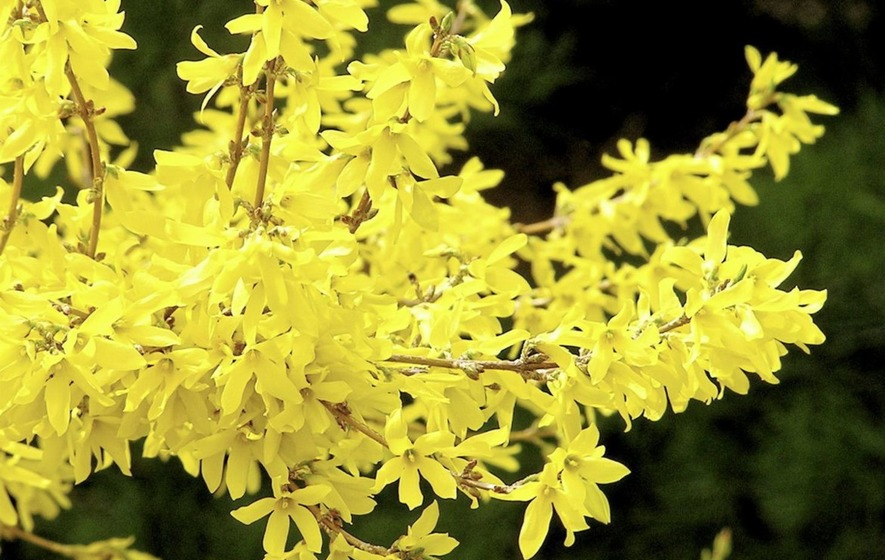 Forsythia saga springs surprises the irish news forsythia need little care and are hardy in extreme temperatures mightylinksfo Images