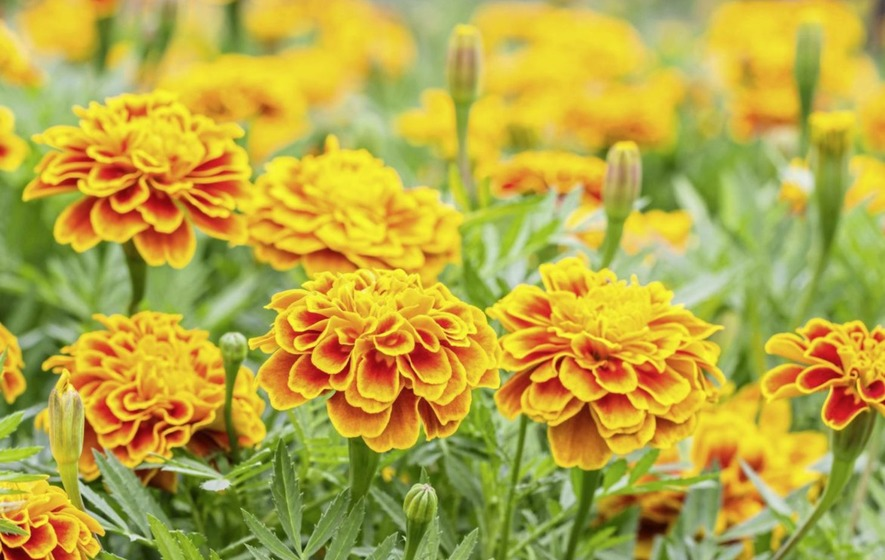 French Marigolds U2013 The Smell Of Them Acts As A Repellent To Whitefly