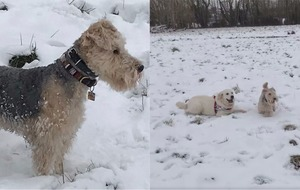 Watch Bertie the Lakeland terrier living his best life in the snow