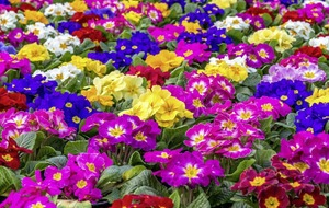 Gardening: Guide to growing perfect primulas and how to make the most of these colourful plants