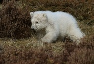Polar bear cub takes its first steps outside