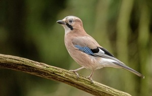 Take On Nature: Jays may be garrulus but they're also bright and beautiful