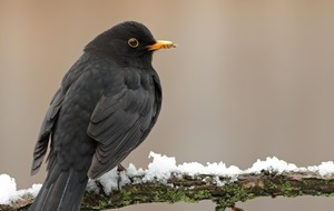 Longer-living urban blackbirds have reduced bill of health, study finds