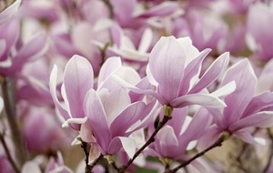 The Casual Gardener: Forget paint – there's nothing bland about magic magnolia