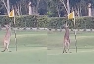 Watch a kangaroo let off some steam by boxing a golf flag