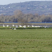 Police called over A6 swan welfare