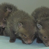 Fox cubs rescued from building site rubble