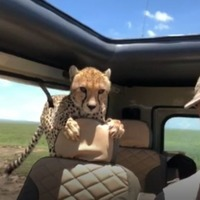 This incredible video shows the moment a curious cheetah climbed inside a man's car