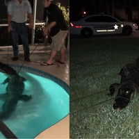 Watch an 11ft alligator being wrestled from a swimming pool inside a Florida home