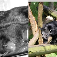 Scotland's first binturong cubs aren't just cute, they also smell of hot buttered popcorn
