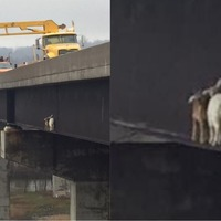 These giddy goats had to be saved from a bridge after they got stuck