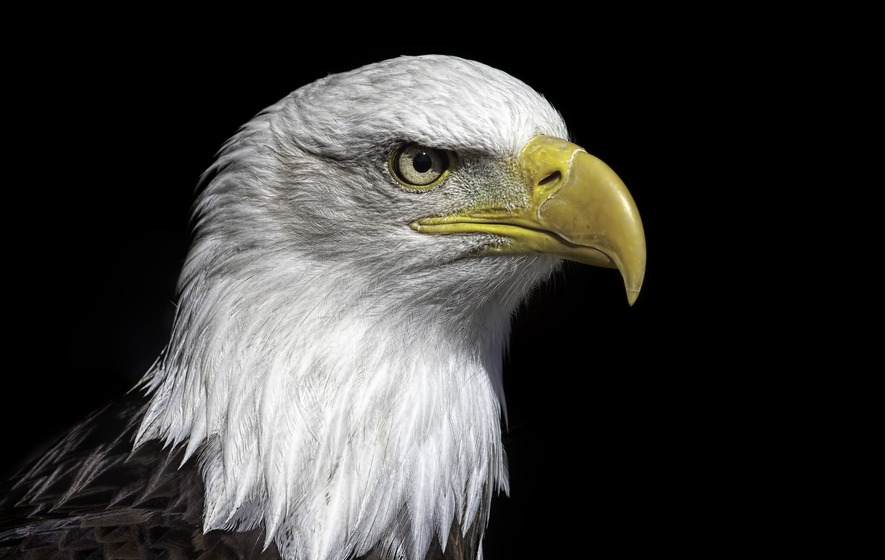 A Bald Eagle Landed On The Pitcher At A Major League Baseball Game