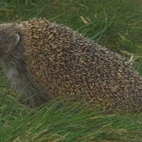 Zepplin the beach ball hedgehog released back in to wild